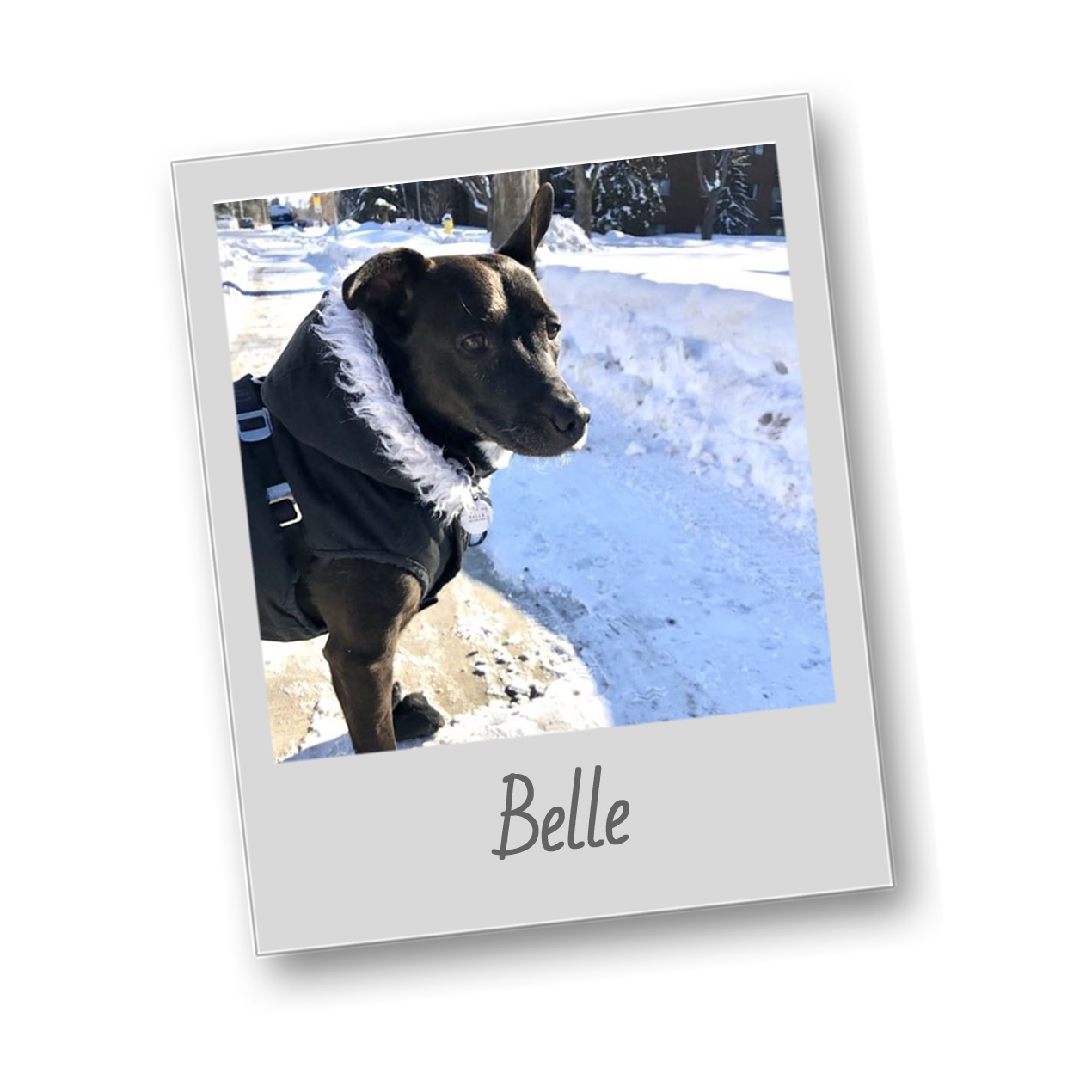 Template   polaroid pets   belle