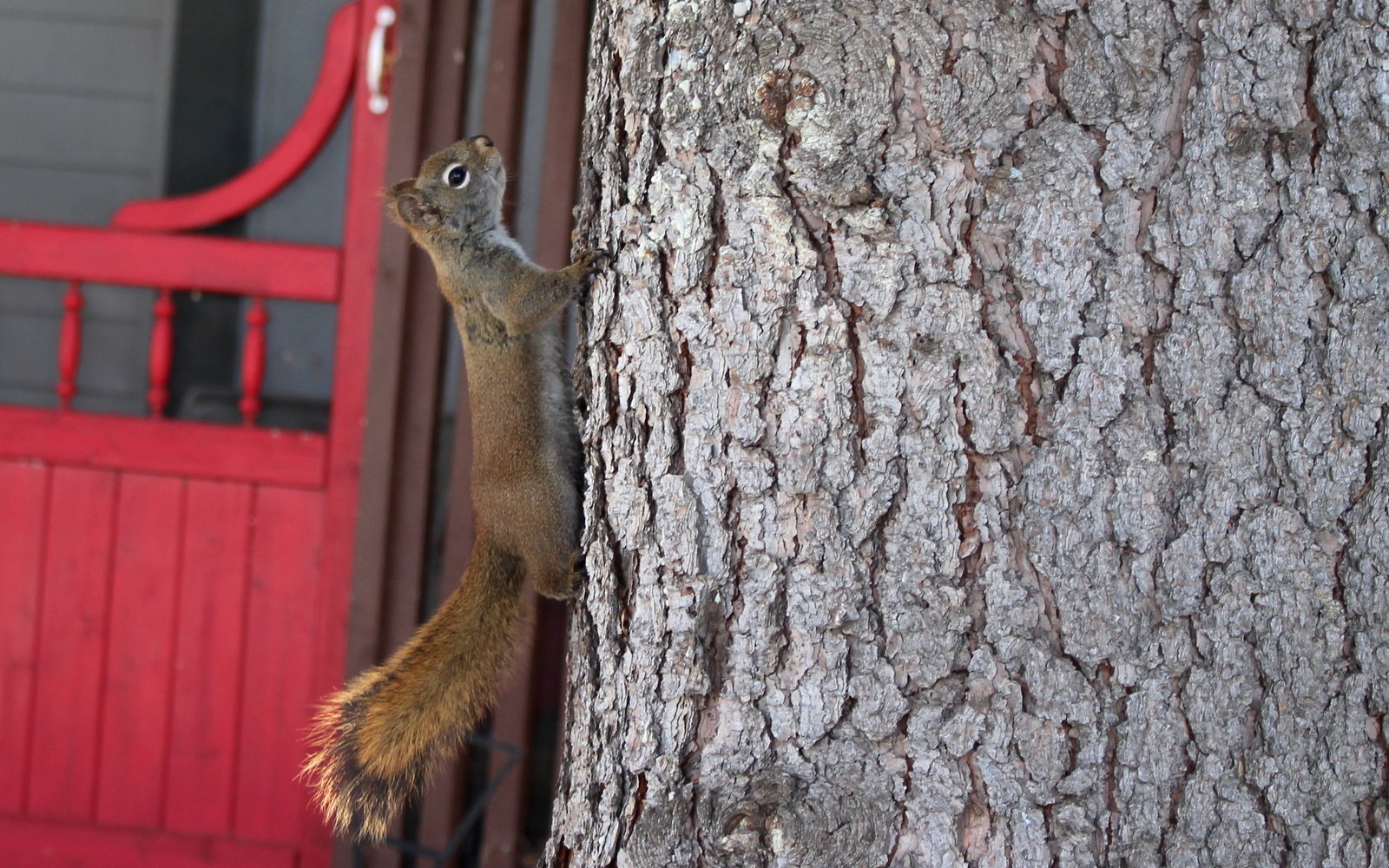 Normal2x red squirrel   rodent   edmonton   yeg   walkable   city   780   wildlife   nature